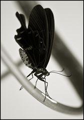 ~ Butterfly V ~
