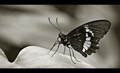 ~ Butterfly VI ~