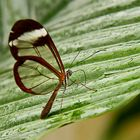 Butterfly with translucent wings