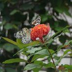 Butterflys...