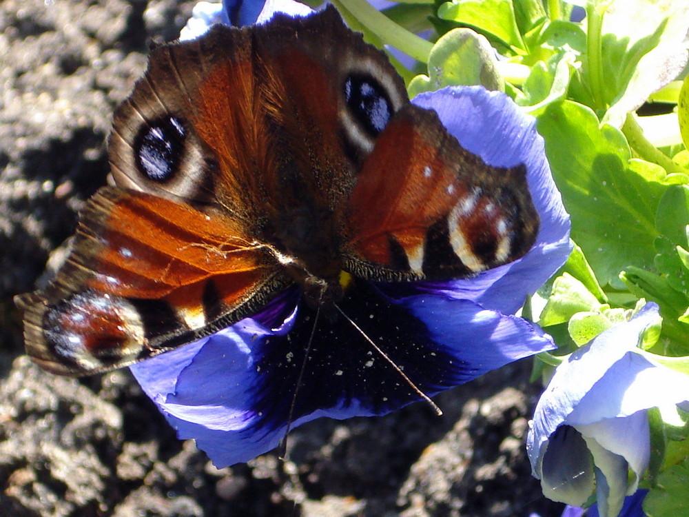 butterfly`s break