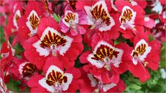 Buureorchideenkuddelmudel