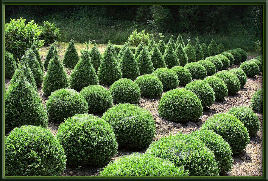Buxus, Buchsbaum