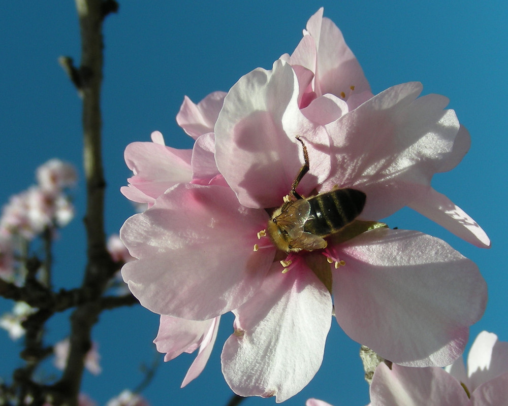 buzzzzzzy bee at almond blossom