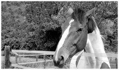 B&W horse