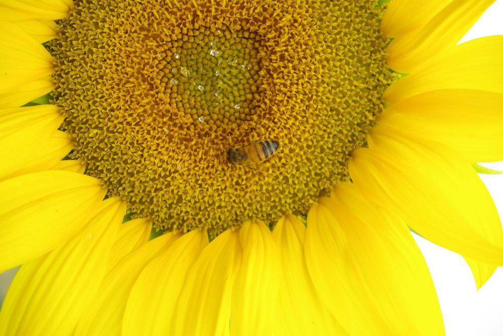 Bzz, Bzz , Maya l'abeille
