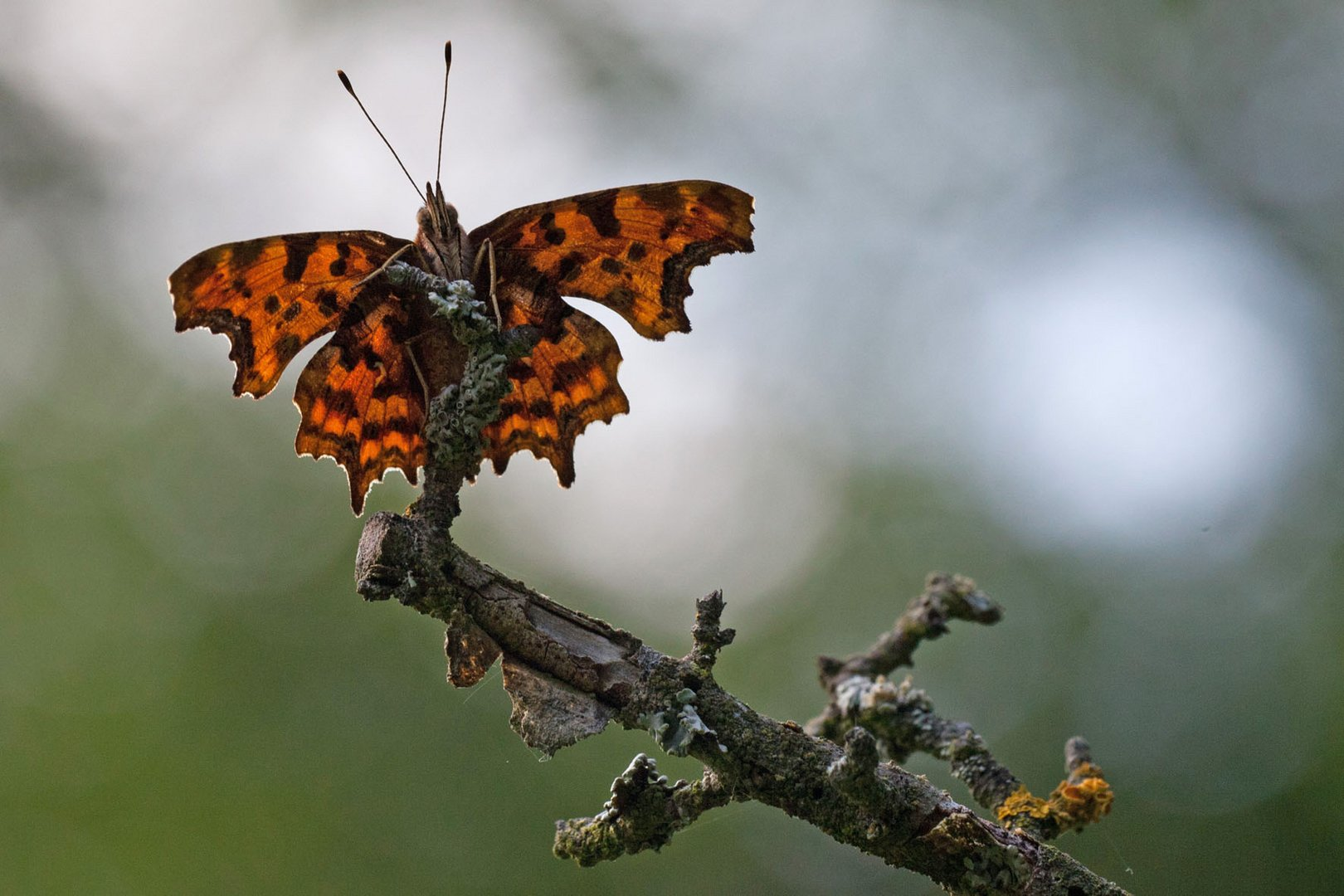 C-FALTER, COMMA, POLYGONIA C ALBUM
