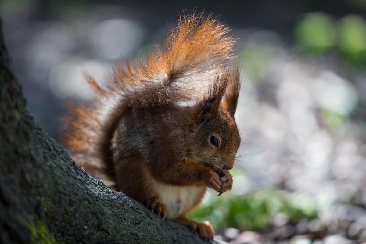 C- Hörnchen