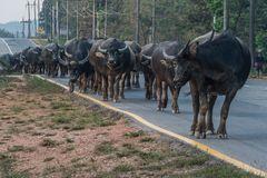 C1145_Myanmar - animal traffic