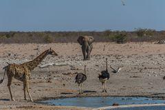 C1345 Namibia - Etosha