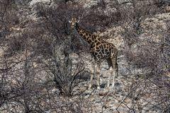 C1368 Namibia - Etosha