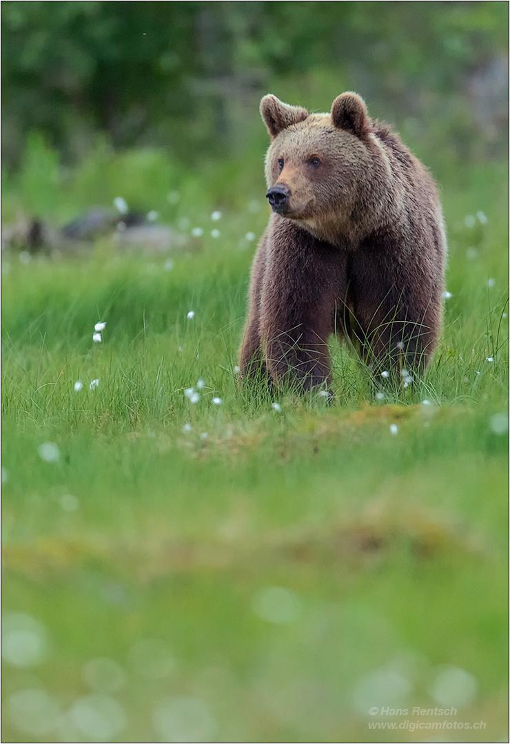 ca. drei jähriger Braunbär