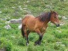 caballo Asturiano