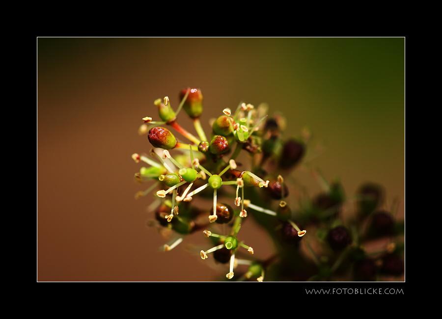 Cabernet-Blüte
