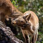 Cabra en Montserrat