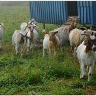 cabras, mis amigas (meine befreundeten Ziegen)