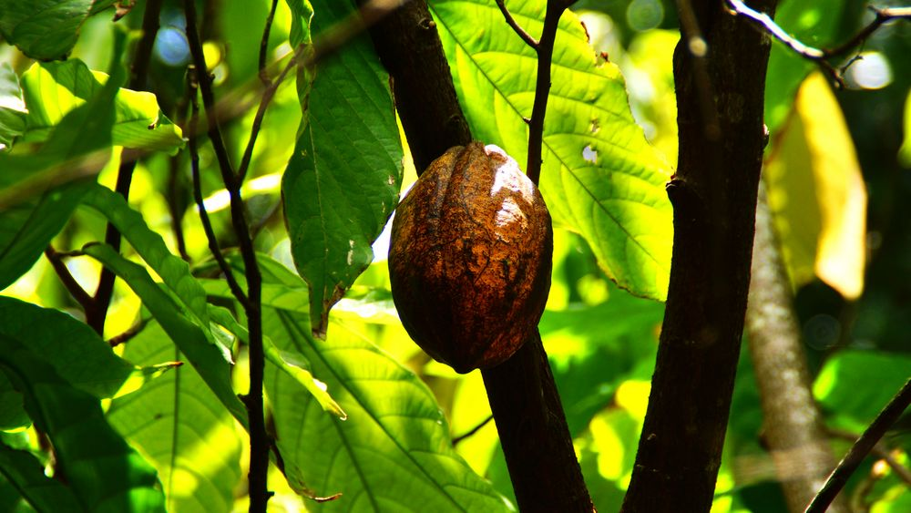 Cacao auf Guadeloupe