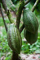 [ Cacao Plant ]