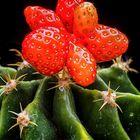 """ Cactaceae Fragum"" oder der Erdbeerkaktus"