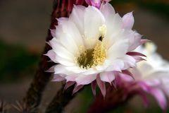 Cactus blossom - Kaktusblüte