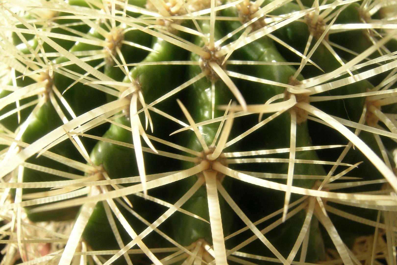 Cactus Colore