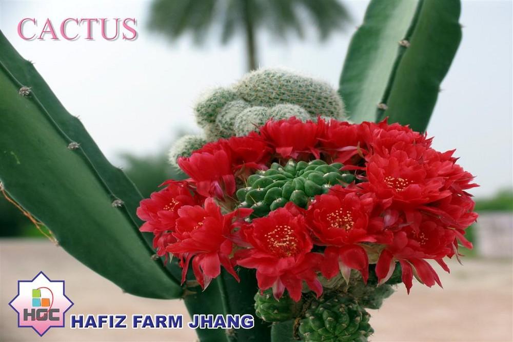 CACTUS CROWN