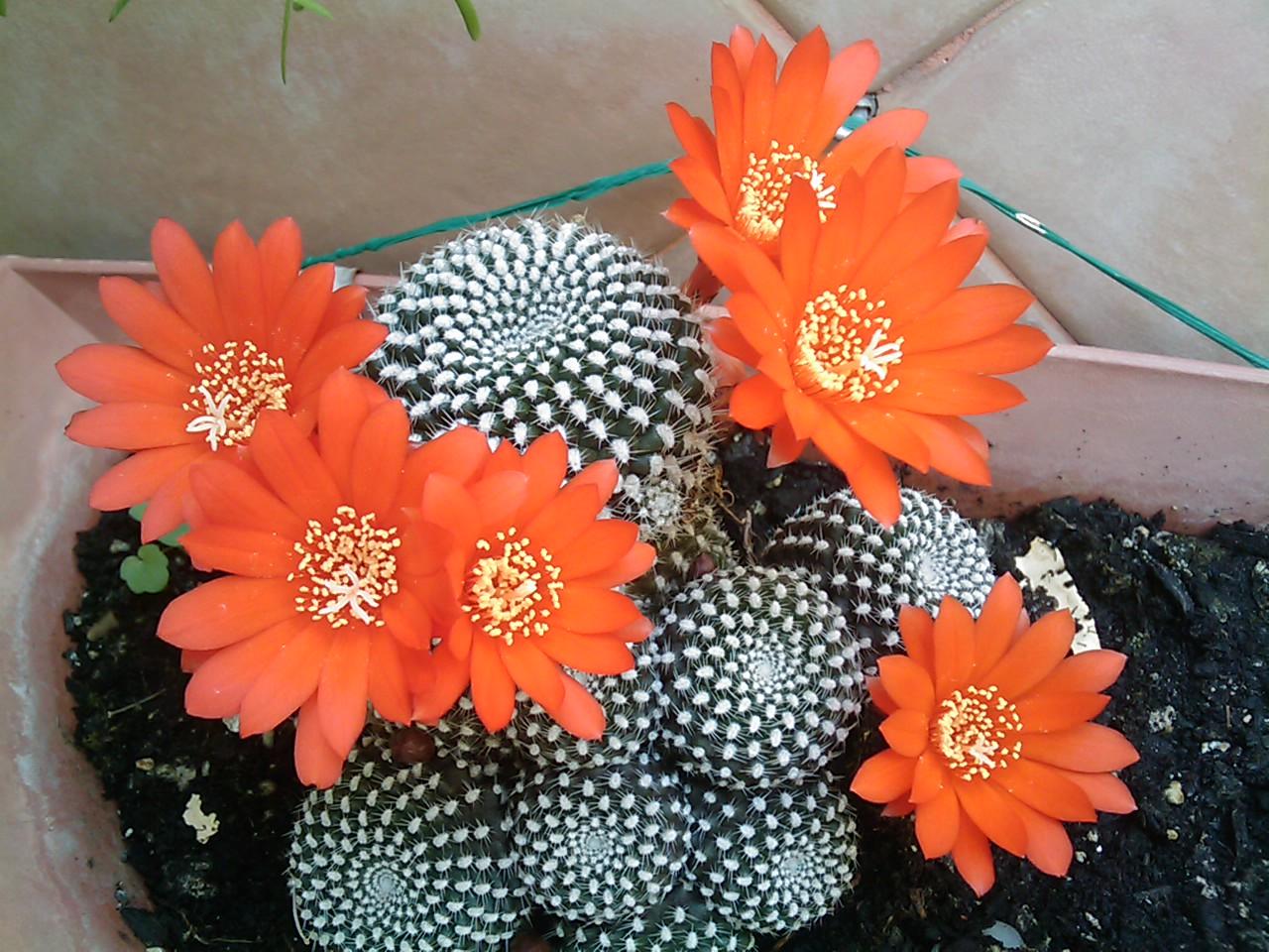 cactus en rojo
