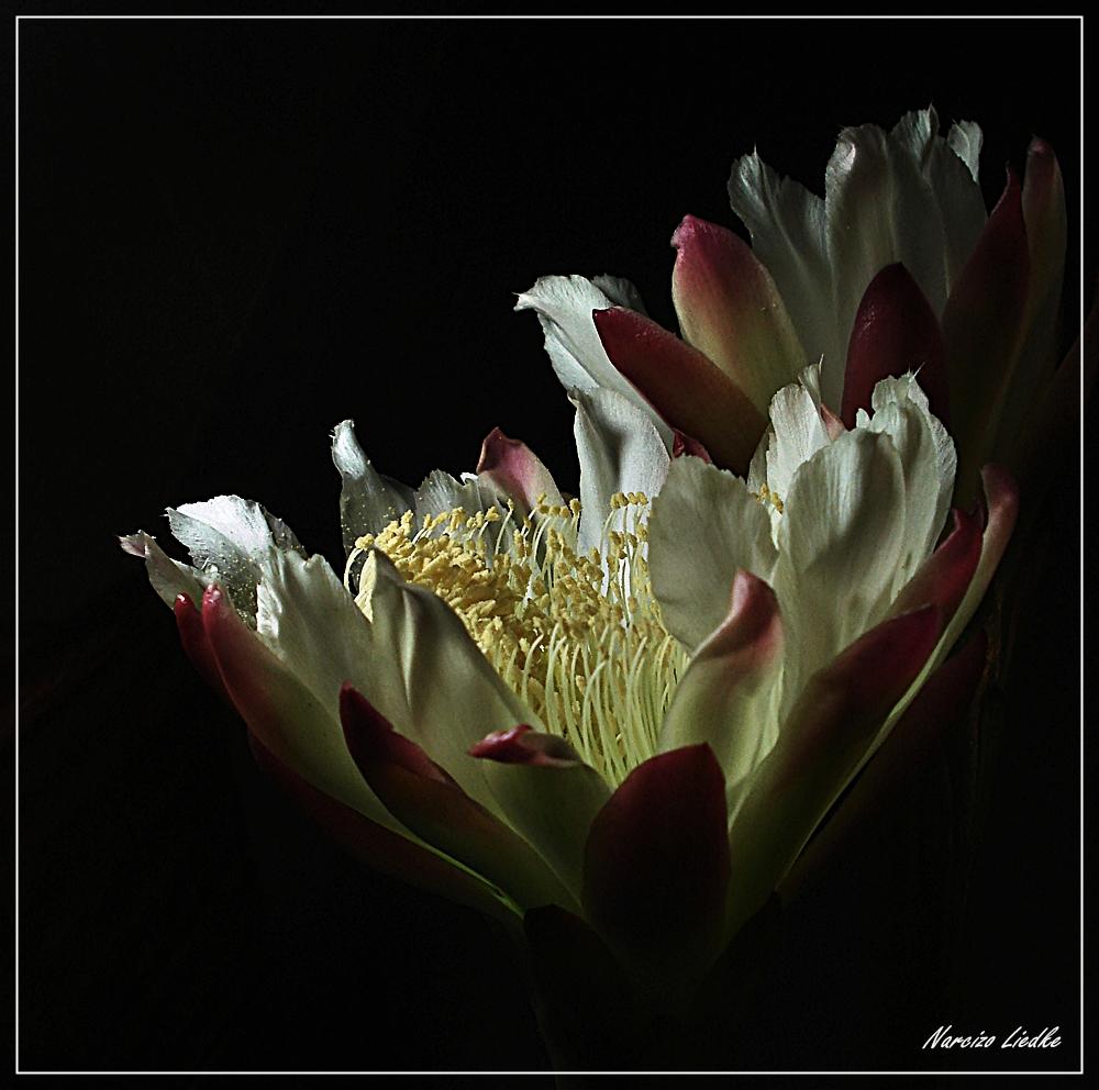 Cactus - Luta pela vida,