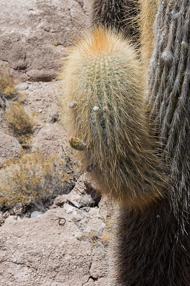Cactus-Man