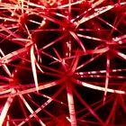Cactus Rosso