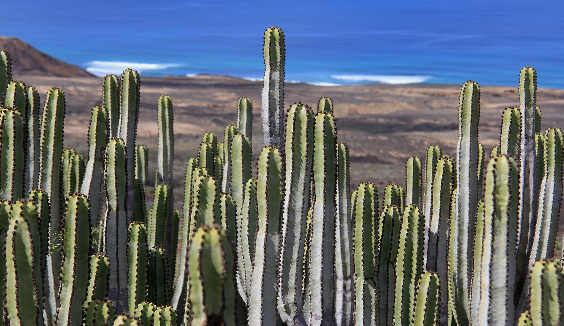 Cactuses in Fuerte