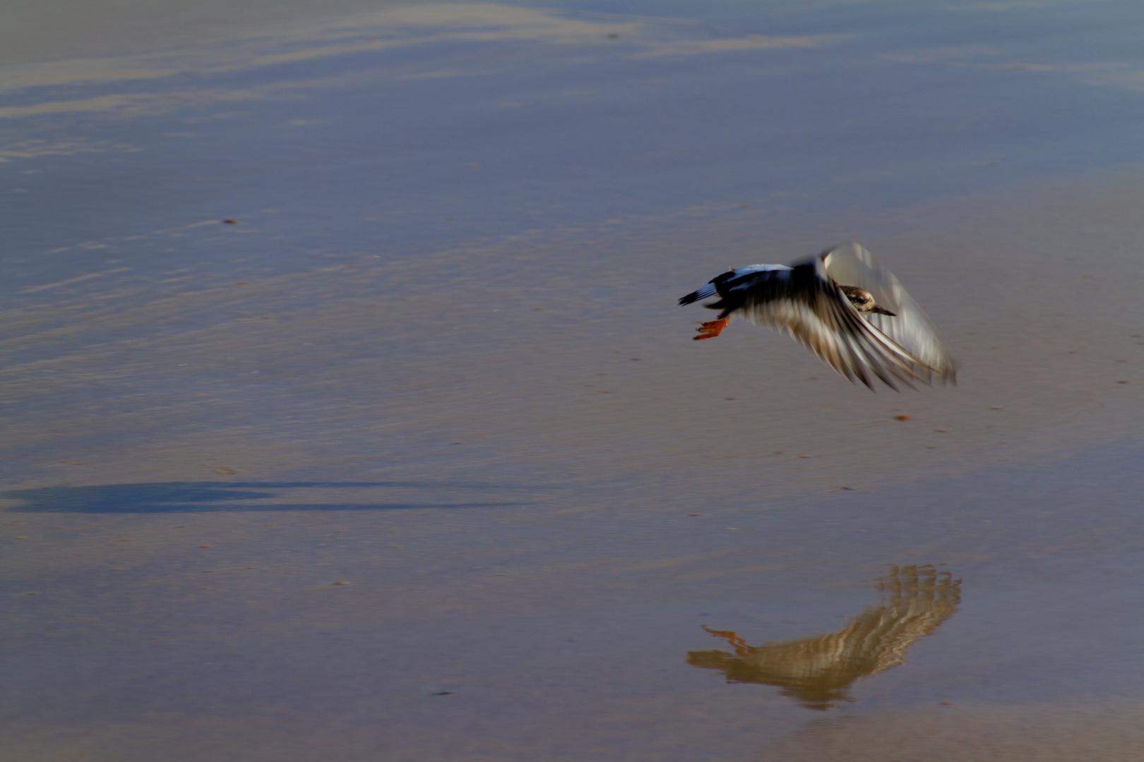Cadzandter Flügelschlag