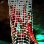 Cage Chillies