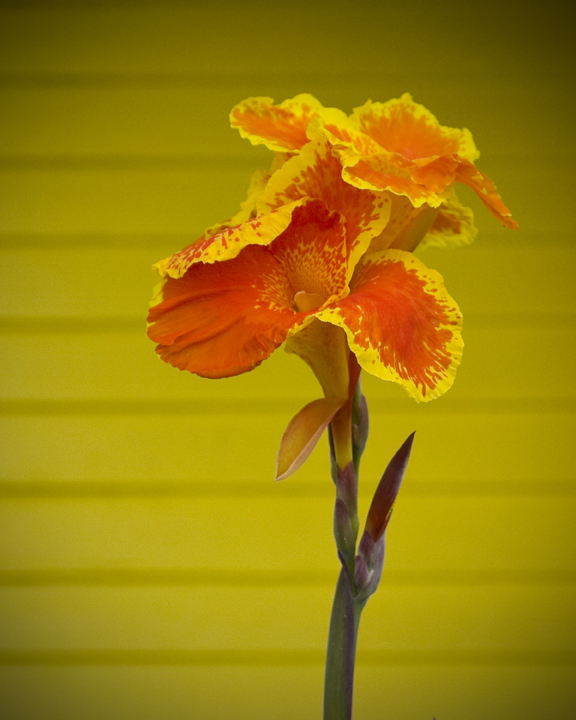 Cala Lilly Orange