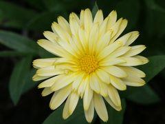 Calendula (Ringelblume)