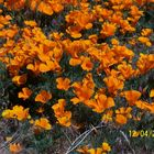 California Poppies in the wild