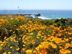 California Poppy Blume