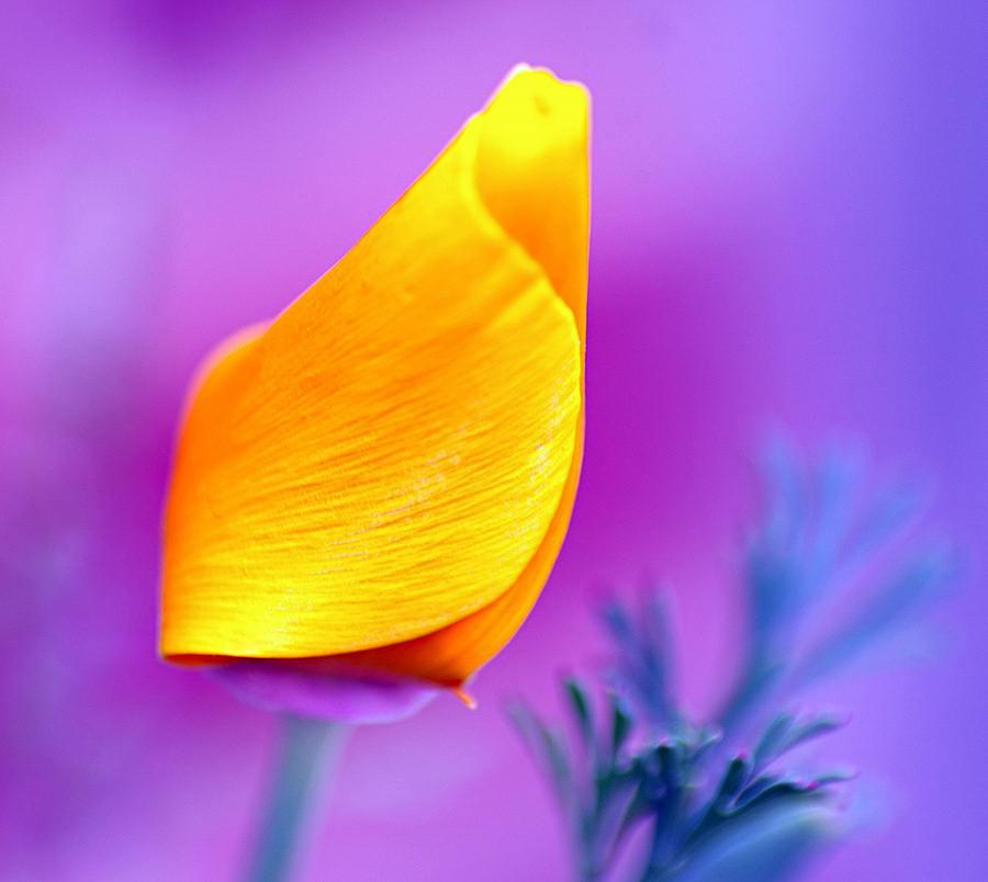 California Poppy gelb