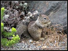 californian squirrel
