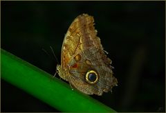 Caligo memnon
