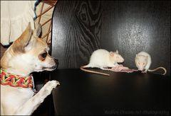 Caligula ist den Rattis das Futter neidig ;-)