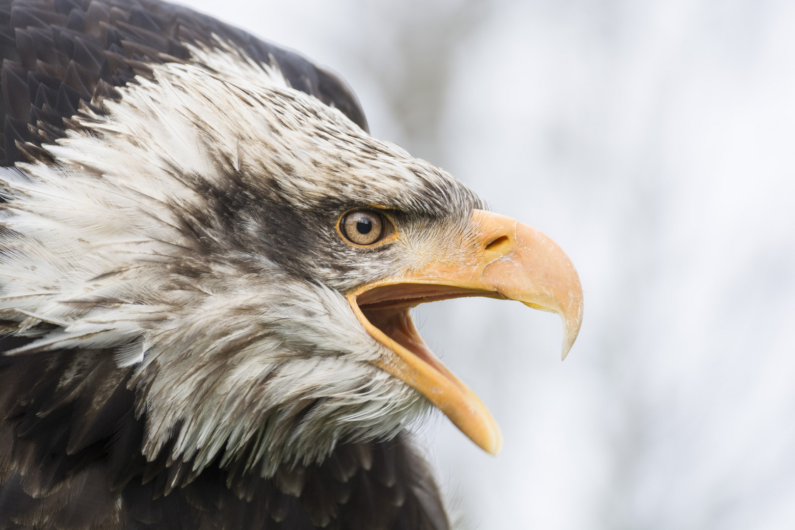 Call of the bald eagle