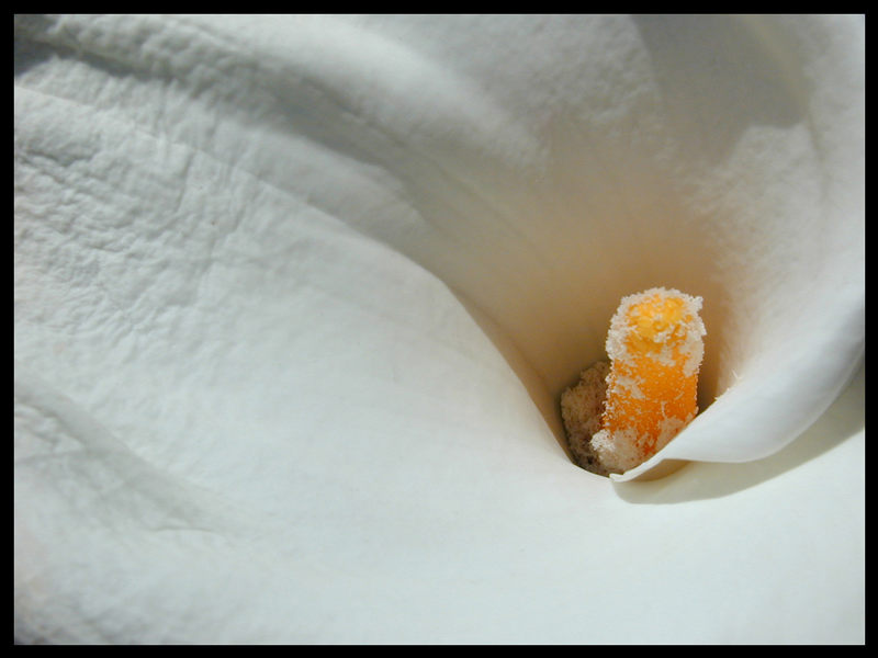 Calla_ Blütenstaub