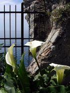 Calla - Hochzeitsblume