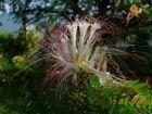 Calliandra flower - 03