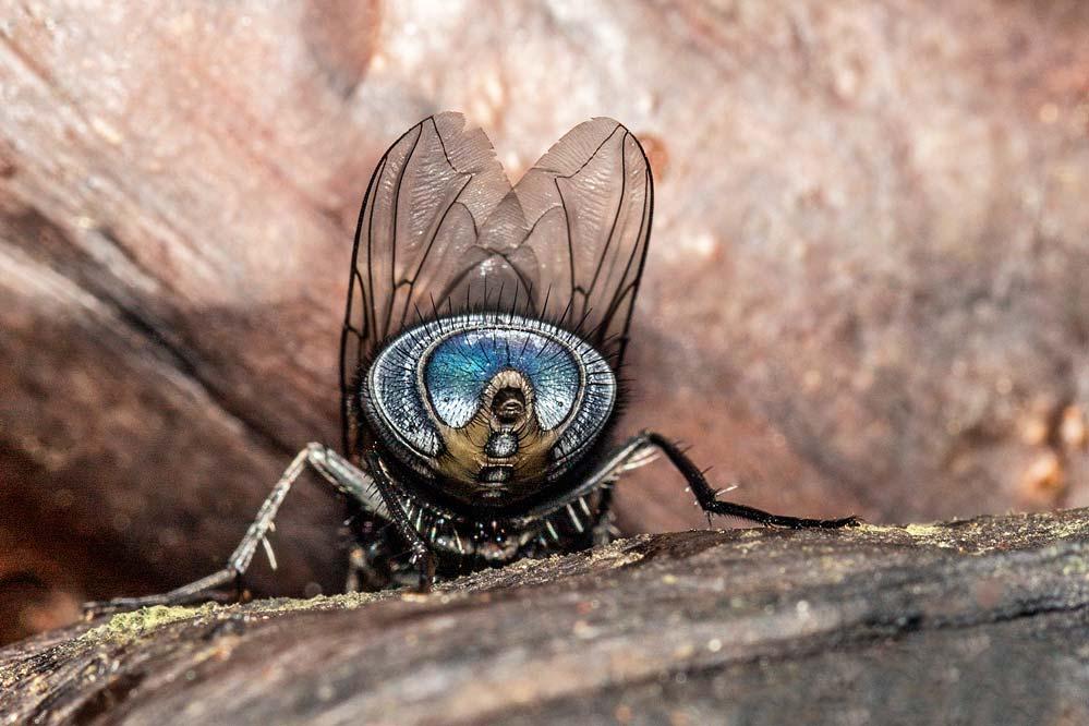 Calliphoridae  von hinten!