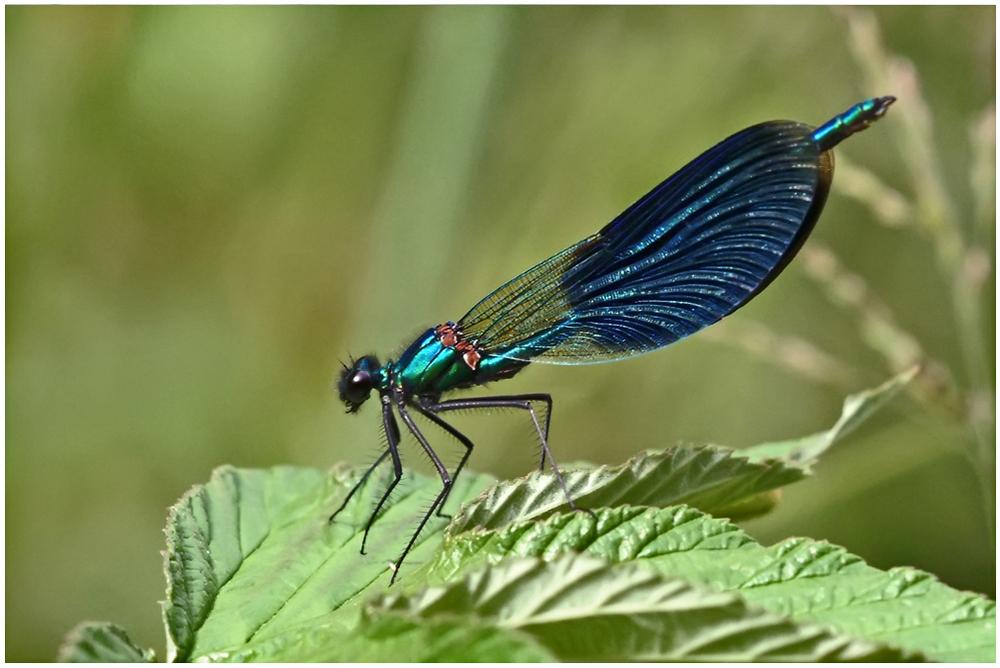 Caloptérix élégant mâle (Calopterix splendens)