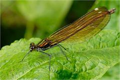 Calopterix virgo femelle