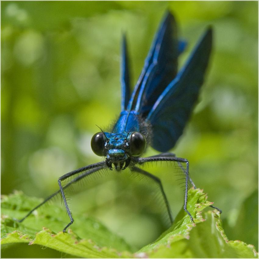 Calopterix Virgo mâle
