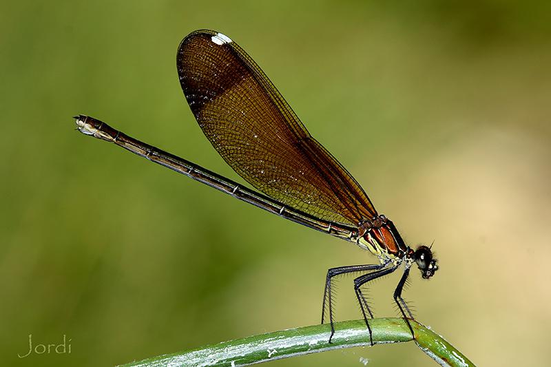 Calopteryx haemorrhoidalis hembra